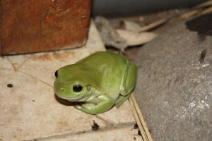 green frog1